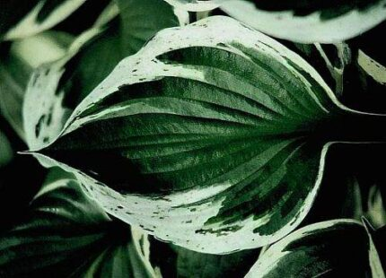 Independence Hosta