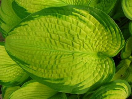 Inniswood Hosta