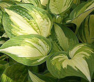 Jerry Landwehr Hosta