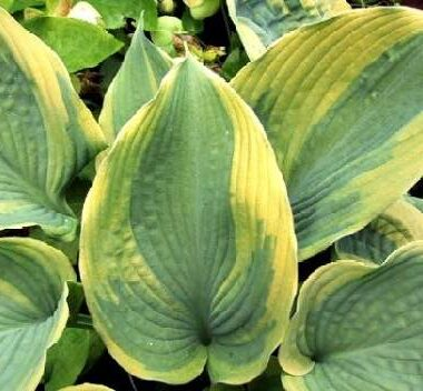 Jewel of the Nile Hosta