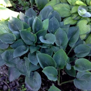 King of Spades Hosta
