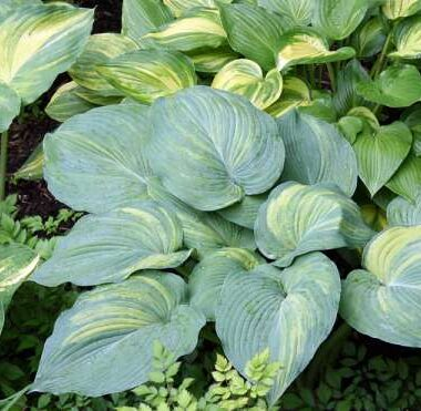 Kiwi Milkyway Hosta