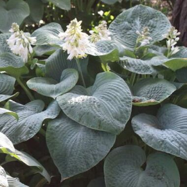 Lakeport Blue Hosta