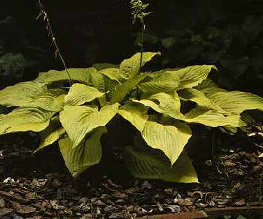 Lakeside Contender Hosta