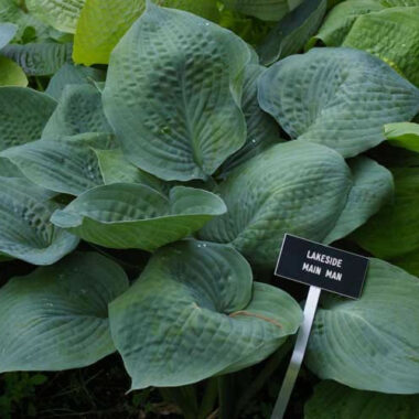 Lakeside Main Man Hosta
