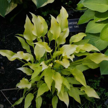 Lakeside Waterfall Hosta