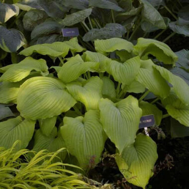 Lime Piecrust Hosta