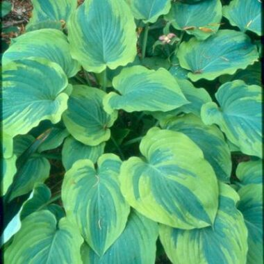 Lime Smoothie Hosta