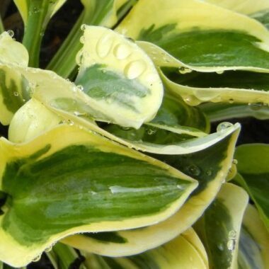 Lucky Mouse Ears Hosta