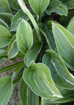My Lucky Star Hosta