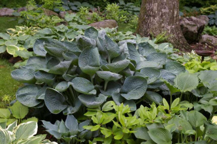 Nate The Great Hosta