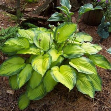 Old Glory Hosta