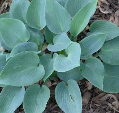 Pacific Blue Edger Hosta