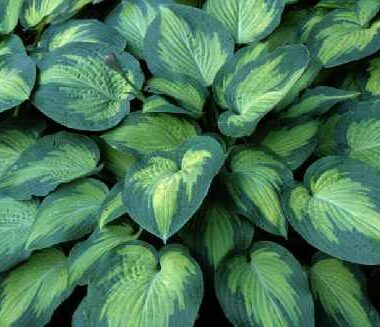Pete's Passion Hosta