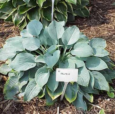 Pewterware Hosta