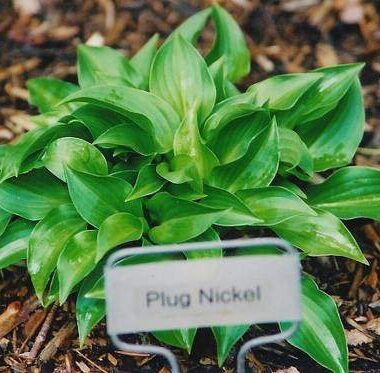 Plug Nickel Hosta
