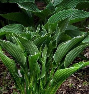 Praying Hands Hosta