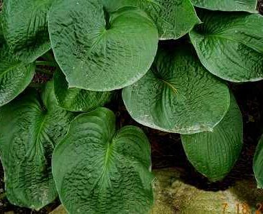 Puckered Giant Hosta