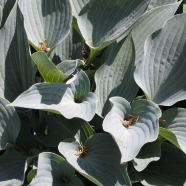 Purple Verticulated Elf Hosta