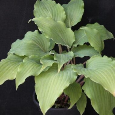 Pycnophylla Hosta