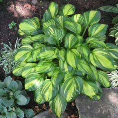 Rainbow's End Hosta