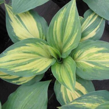 Red Cloud Hosta