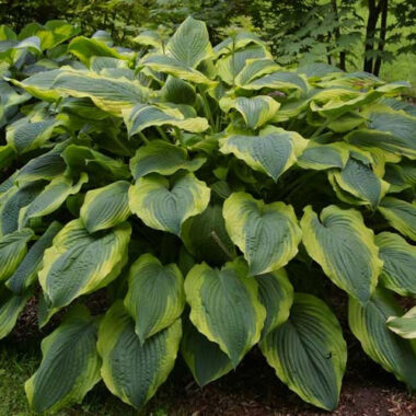 Satisfaction Hosta