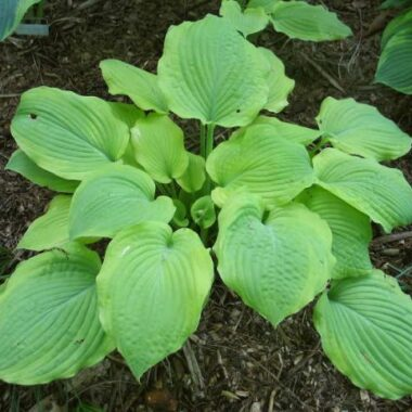 Sentimental Journey Hosta