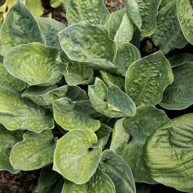 Smokey Mountains Hosta