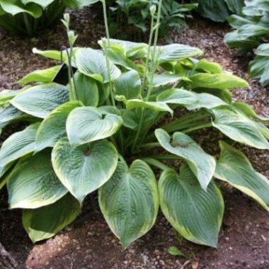 Spartan Glory Hosta