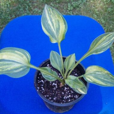 Special Forces Hosta