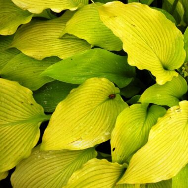 Summer Warrior Hosta