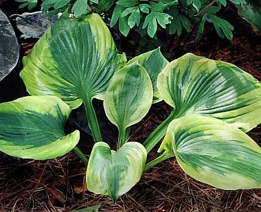 Sum of All Hosta