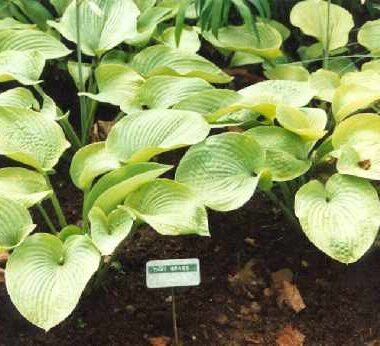 Thai Brass Hosta