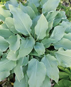 Venetian Dream Hosta
