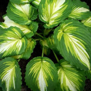 War Paint Hosta