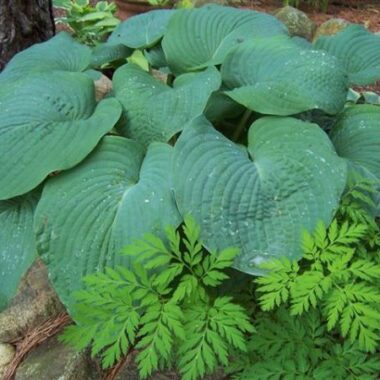 Blue Mammoth Hosta
