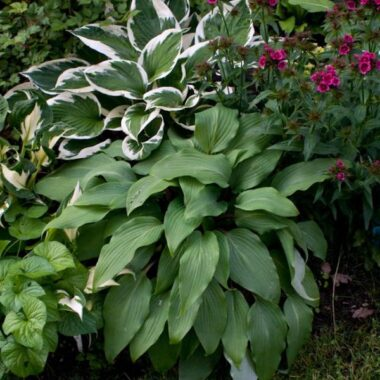 Red October Hosta