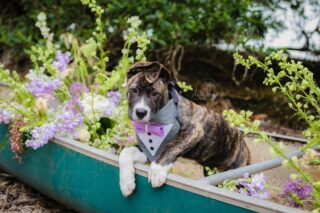 What is cuter than McGruff in a flower filled canoe?? Nothing...absolutely nothing! He is the cutest pup!⠀⠀⠀⠀⠀⠀⠀⠀⠀ Thank you @furryventures_petcare for bringing him! ⠀⠀⠀⠀⠀⠀⠀⠀⠀ McGruff is available for adoption through @thepibafoundation⠀⠀⠀⠀⠀⠀⠀⠀⠀ ⠀⠀⠀⠀⠀⠀⠀⠀⠀ Petcare: @furryventures_petcare⠀⠀⠀⠀⠀⠀⠀⠀⠀ Venue: @tbwweddings⠀⠀⠀⠀⠀⠀⠀⠀⠀ Photography/Videography: @altphoto⠀⠀⠀⠀⠀⠀⠀⠀⠀ Planning/Design: @elopestpete @altphoto⠀⠀⠀⠀⠀⠀⠀⠀⠀ Canoe: @elopestpete⠀⠀⠀⠀⠀⠀⠀⠀⠀ Floral installs: @endlesscreationsflora⠀⠀⠀⠀⠀⠀⠀⠀⠀ Chairs/Linens/tabletop: @eliteeventsandrentals⠀⠀⠀⠀⠀⠀⠀⠀⠀ HMUA: @justbeautyhmua⠀⠀⠀⠀⠀⠀⠀⠀⠀ Candle decor: @adrdecor⠀⠀⠀⠀⠀⠀⠀⠀⠀ Caligraphy: @madwolfedesigns⠀⠀⠀⠀⠀⠀⠀⠀⠀ Cake: @theartisticwhisk Groom's Tie: @knottytie ⠀⠀⠀⠀⠀⠀⠀⠀⠀⠀⠀⠀⠀⠀⠀⠀⠀⠀ Models: McGruff (pictured)⠀⠀⠀⠀⠀⠀⠀⠀⠀ @mini_van_ @djkidunot⠀⠀⠀⠀⠀⠀⠀⠀⠀ .⠀⠀⠀⠀⠀⠀⠀⠀⠀ .⠀⠀⠀⠀⠀⠀⠀⠀⠀ .⠀⠀⠀⠀⠀⠀⠀⠀⠀ .⠀⠀⠀⠀⠀⠀⠀⠀⠀ #dogsofinstagram #weddingpetcare #adoptdontshop #weddingday #weddingdayinspo #styleshoot #stpeteweddong #tampawedding #canoewedding #enviromentalwedding #elopestpete #stpetebeach #floridabride #floridagroom #elopementphotographer #dunedinweddingphtographer #floridaphotographer #marrymetampabay #southernbride @fl.weddings⠀⠀⠀⠀⠀⠀⠀⠀⠀ @floridabridemagazine @ruffledblog #elopementphotographer #elopestpete #elopeinflorida #elope #water #tampabay #ceremonyinspo