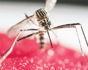 A mosquito from the genus Aedes can carry the Zika virus, which is now considered to be a major health threat to Florida.(JEFFREY ARGUEDAS/EFE VIA ZUMA PRESS)