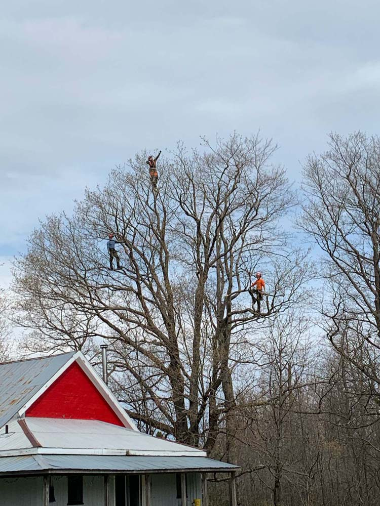 tree triming and removal pruning arborist tree care tree pruning tree removal