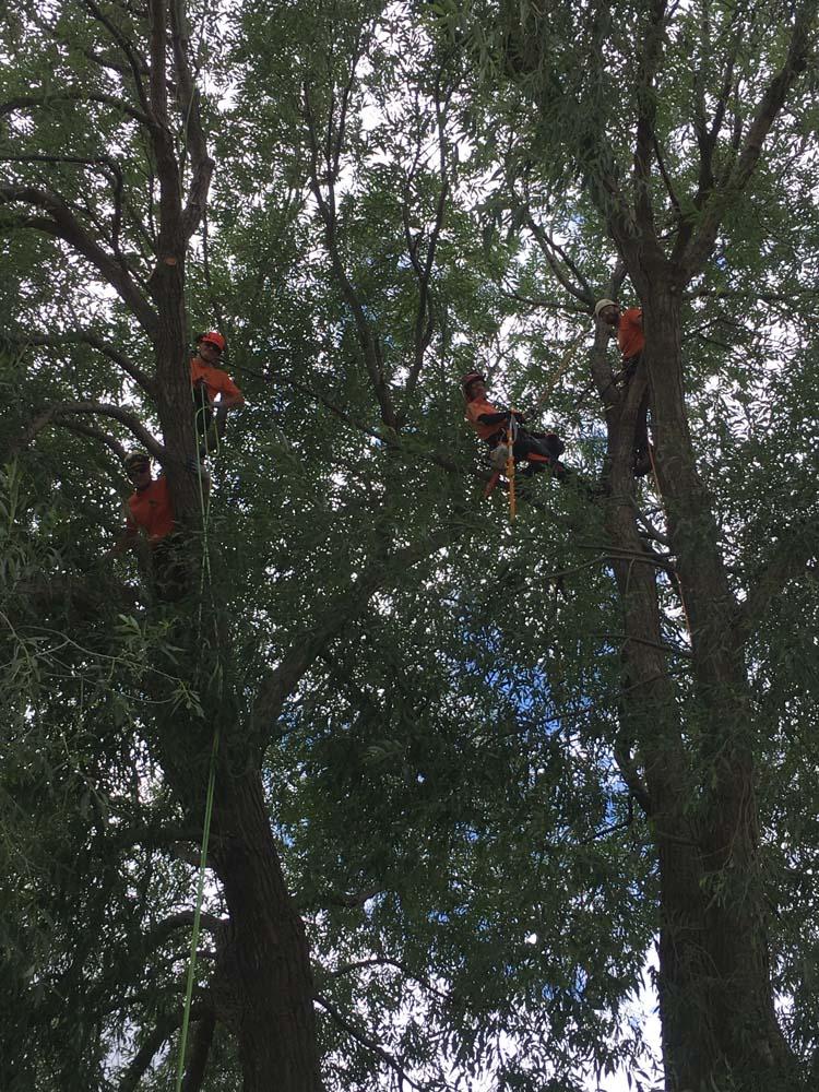 tree care tree removal collingwood arborist blue mountain