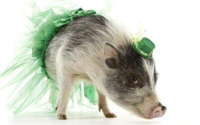 A Dressed-up Pig