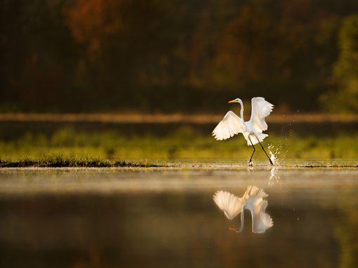 Great Egret in Whitesbog Preservation Trust