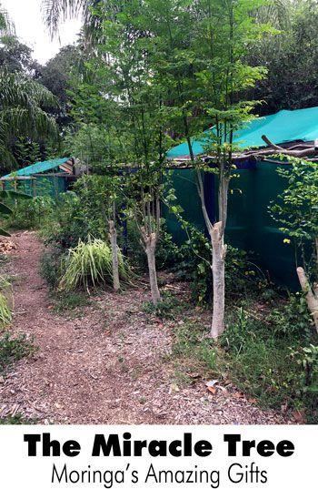 The Miracle Tree: Moringa's Amazing Gifts