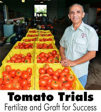 Tomato Trials: Fertilize and Graft for Success