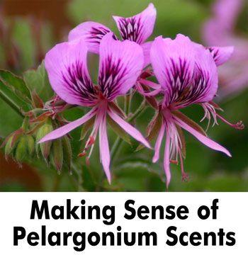 Making Sense of Pelargonium Scents
