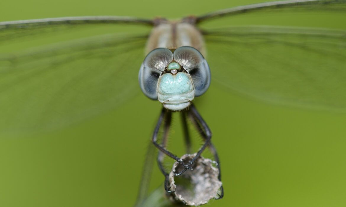 What's That Bug? Dragonflies