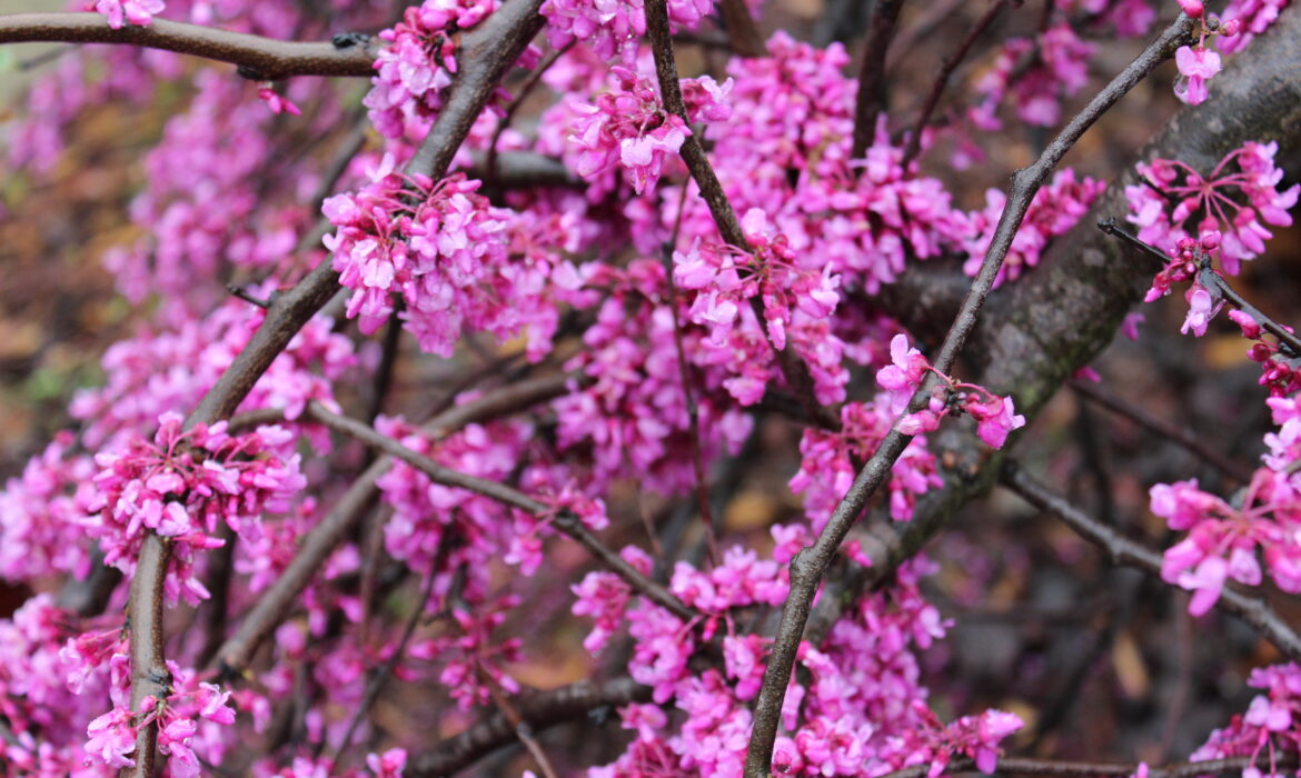 Are Redbuds the Next Crapemyrtle?