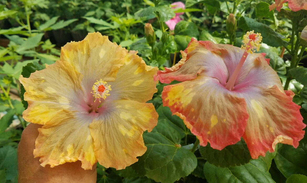 Tropical-Hibiscus Hybrids